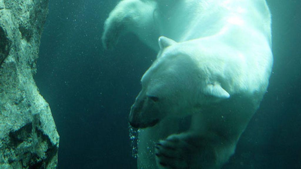 Oso polar disfruta de un baño en la Antártida