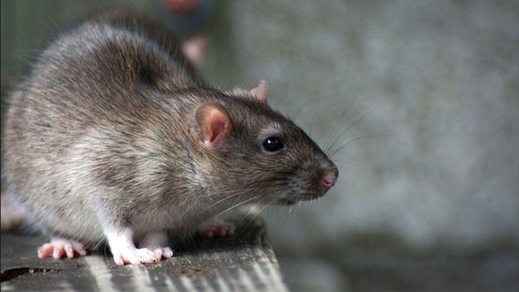 ratas, rata, ratón