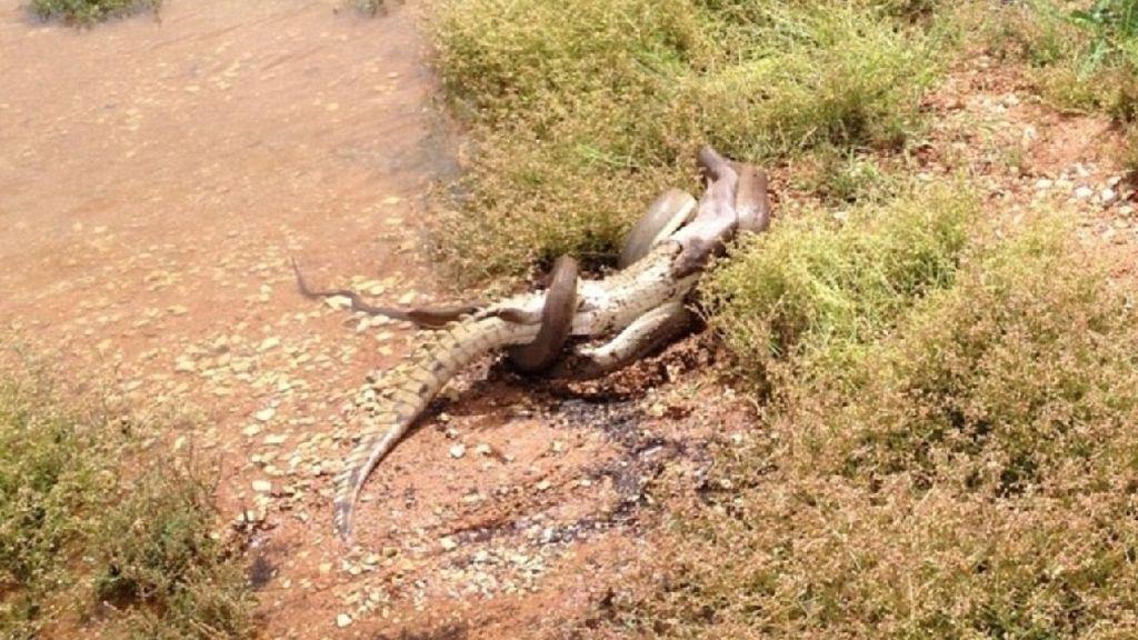 Una serpiente se traga un cocodrilo