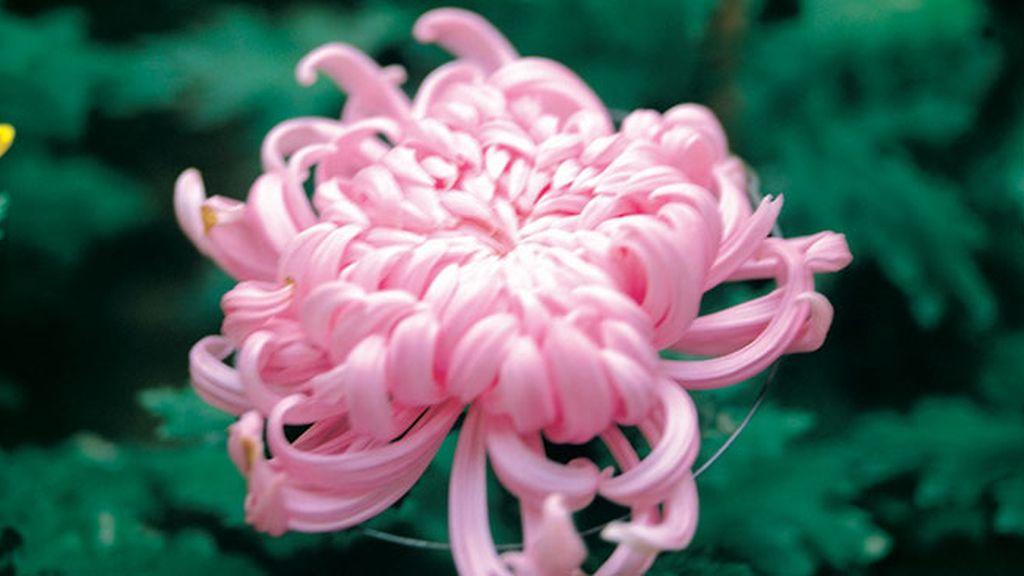 China y Corea, el crisantemo simboliza la muerte y los funerales