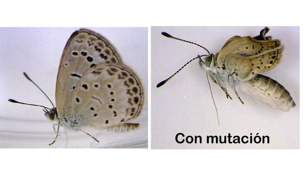 mariposas mutantes, Fukushima, radiación nuclear