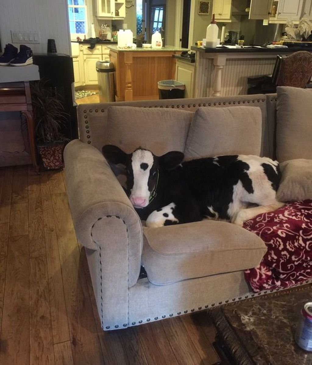 Goliath, la vaca que se cree un perro