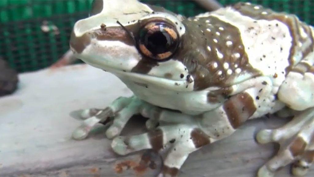 Una rana llamativa por su belleza