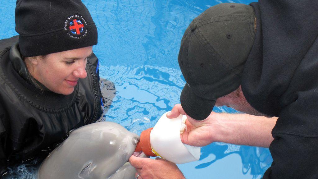 Una cría de beluga  rescatada llega a Alaska