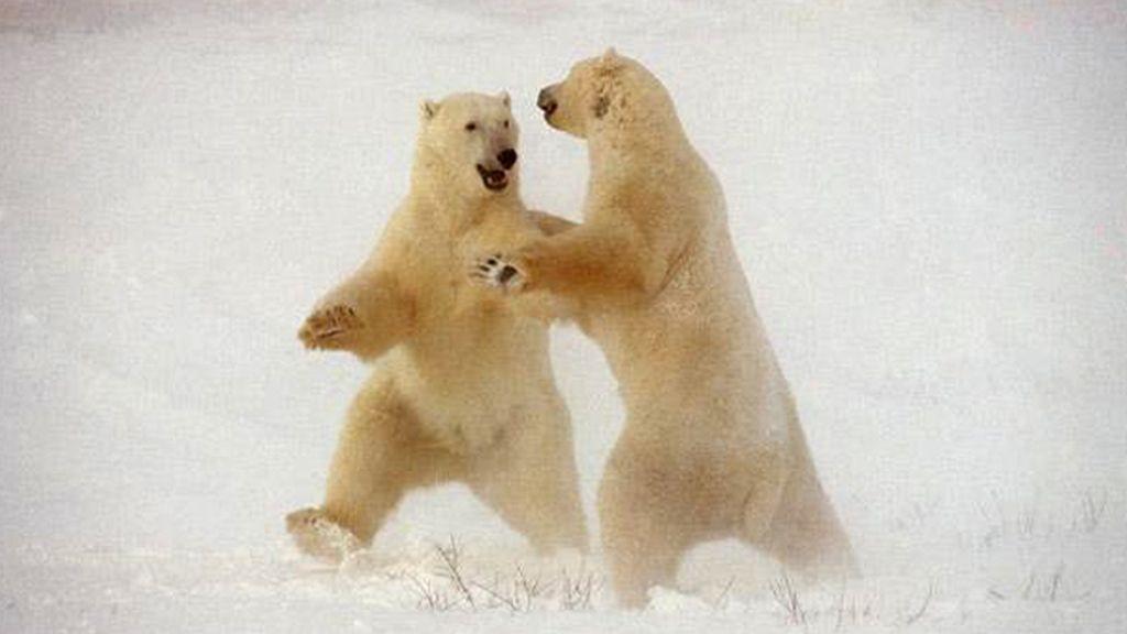 Los osos bailarines o la 'danza polar'