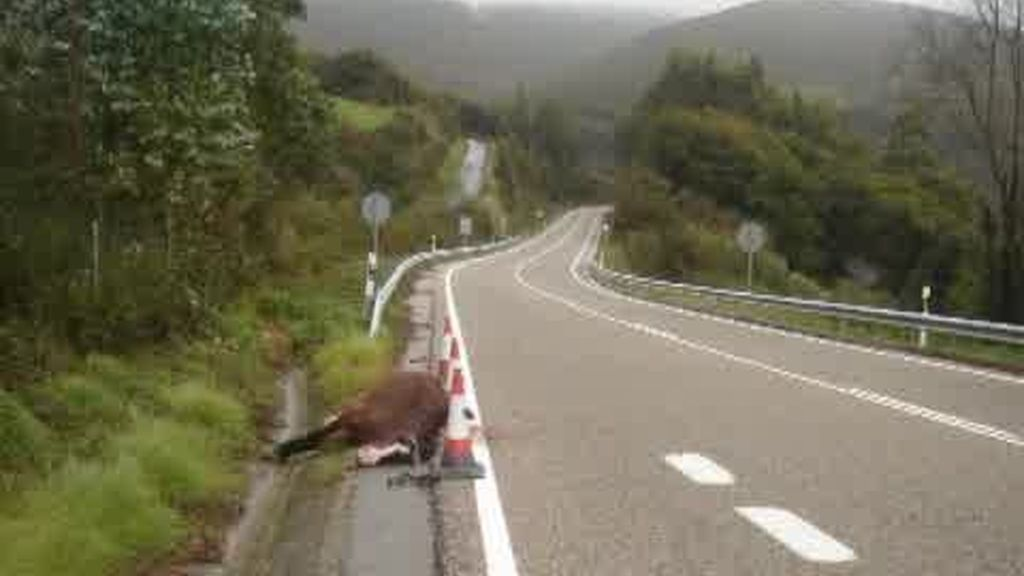 Peligro en Vigo: caballos en la carretera
