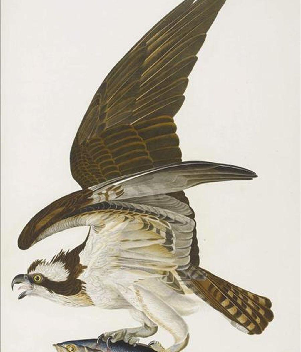 Foto sin fechar, facilitada por la casa de subastas Sotheby's hoy, que muestra una de las ilustraciones de que aparecen en el libro 'Birds of America' (Aves de América), de John James Audubon. EFE/SOTHEBY'S AUCTION HOUSE