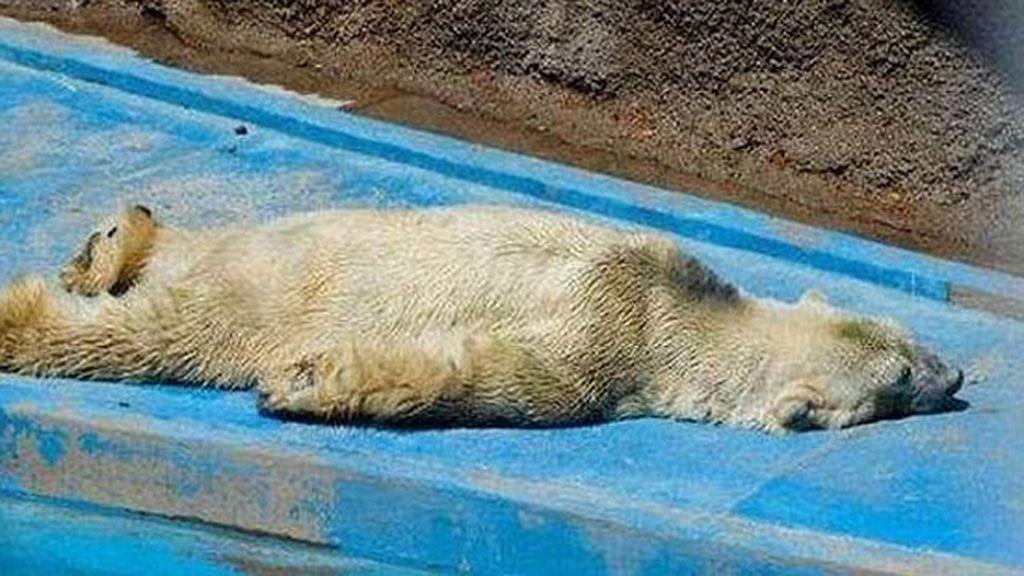 Un oso polar es el animal más triste del mundo
