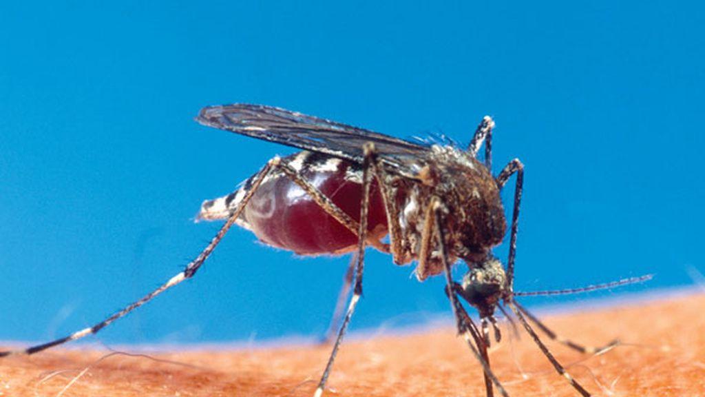 Cobaya de malaria