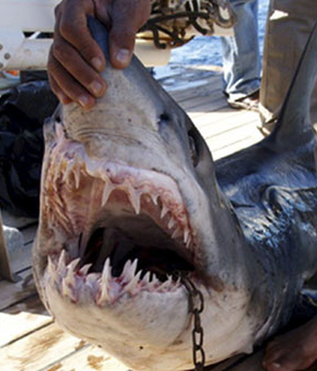 Fotografía tomada el 3 de diciembre de 2010 y cedida por el Ministerio de Medio Ambiente que muestra el tiburón que, se cree, atacó a los cuatro turistas en la costa egipcia del mar Rojo en el complejo turístico de Sharm El-Sheij. Foto: EFE