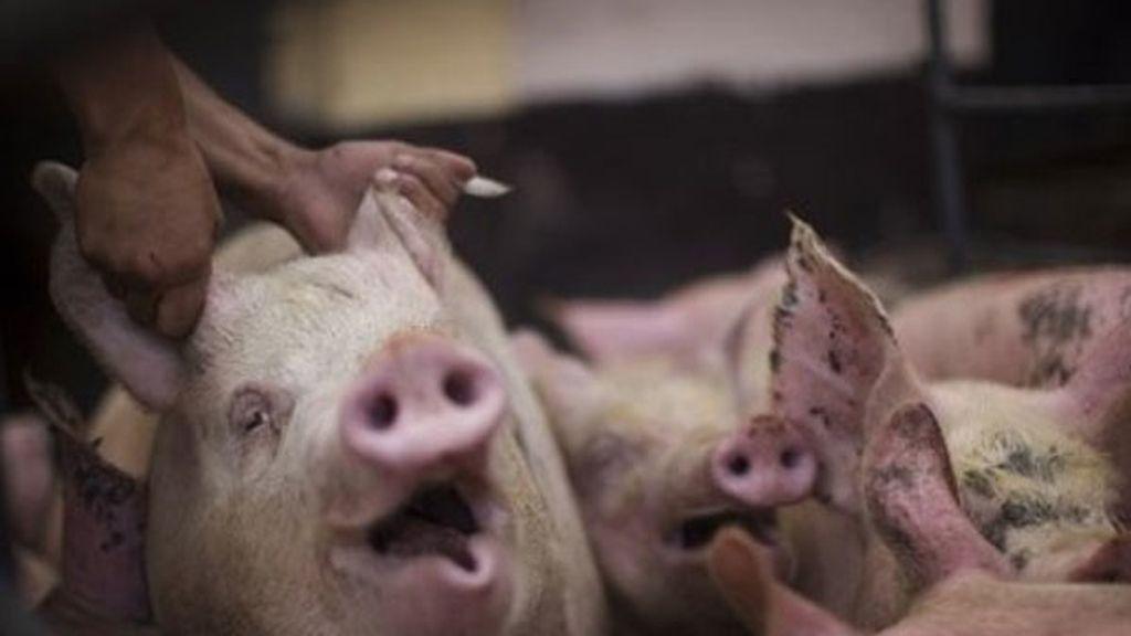 cerdos, gorrinos, animales