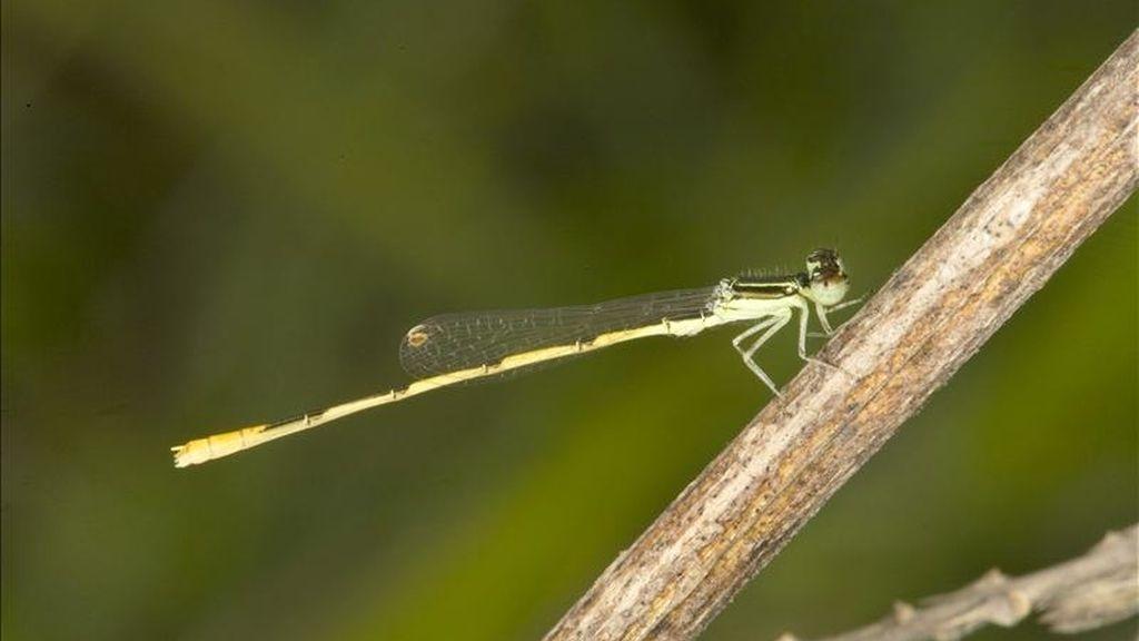 Foto facilitada por la Universidad de Vigo de un macho de libélula de la especie Ischnura hastata. Por primera vez, investigadores españoles han descubierto la capacidad de las libélulas de criar sin necesidad de los machos, hasta hoy el único insecto en el que no estaba confirmado este modo de reproducción (partenogénesis). EFE