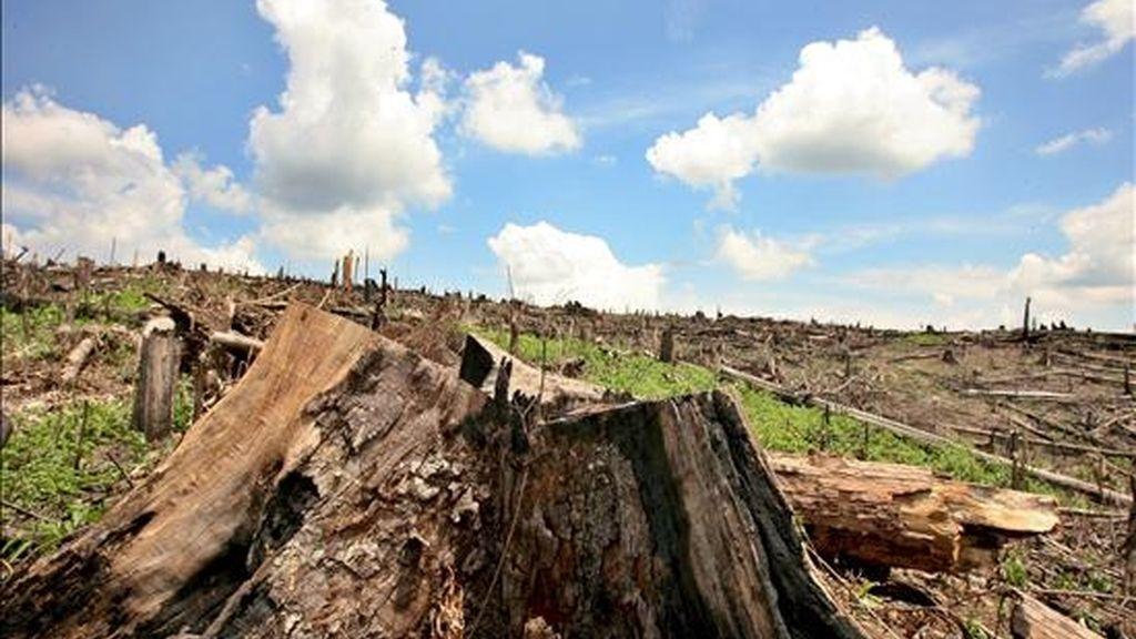Según Flores, las plantaciones industriales podrían compensar parcialmente la desaparición de bosques naturales en términos de cobertura, de oferta de madera, y de algunos servicios ambientales, pero no en biodiversidad. EFE/Archivo