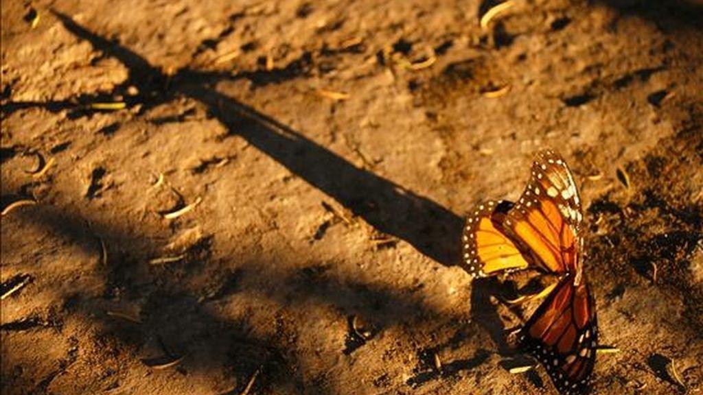 Foto del 30 de diciembre de 2007 de mariposas monarcas en el santuario de la Comunidad del Rosario en Michoacán, México. Las mariposas monarca empiezan a trasladarse hacia el sur cuando comienza el otoño en el hemisferio norte. EFE/Archivo
