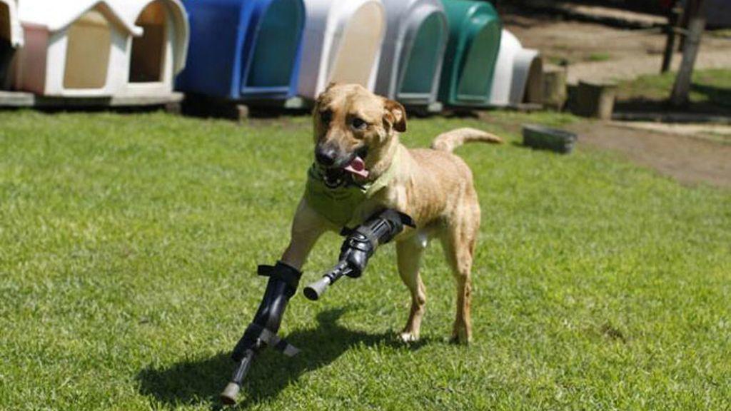 Un perro con dos patas biónicas