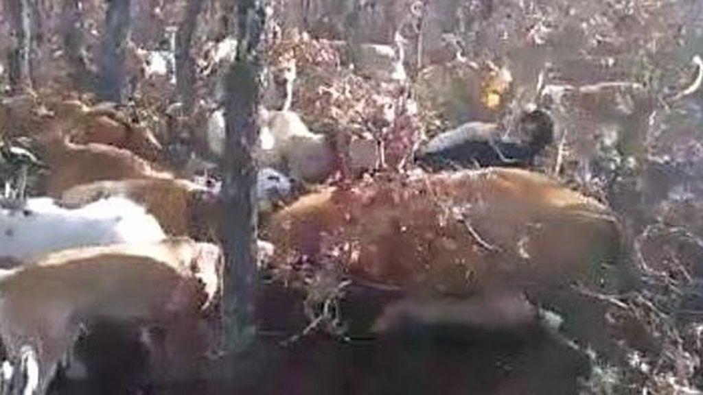 Detienen a una persona por matar a una vaca clavándole repetidamente un puñal