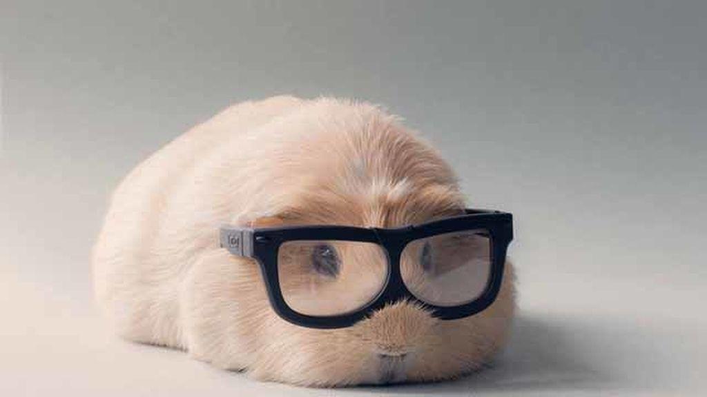 Un conejillo de indias llamado Booboo se hace famoso en Internet gracias a sus atuendos