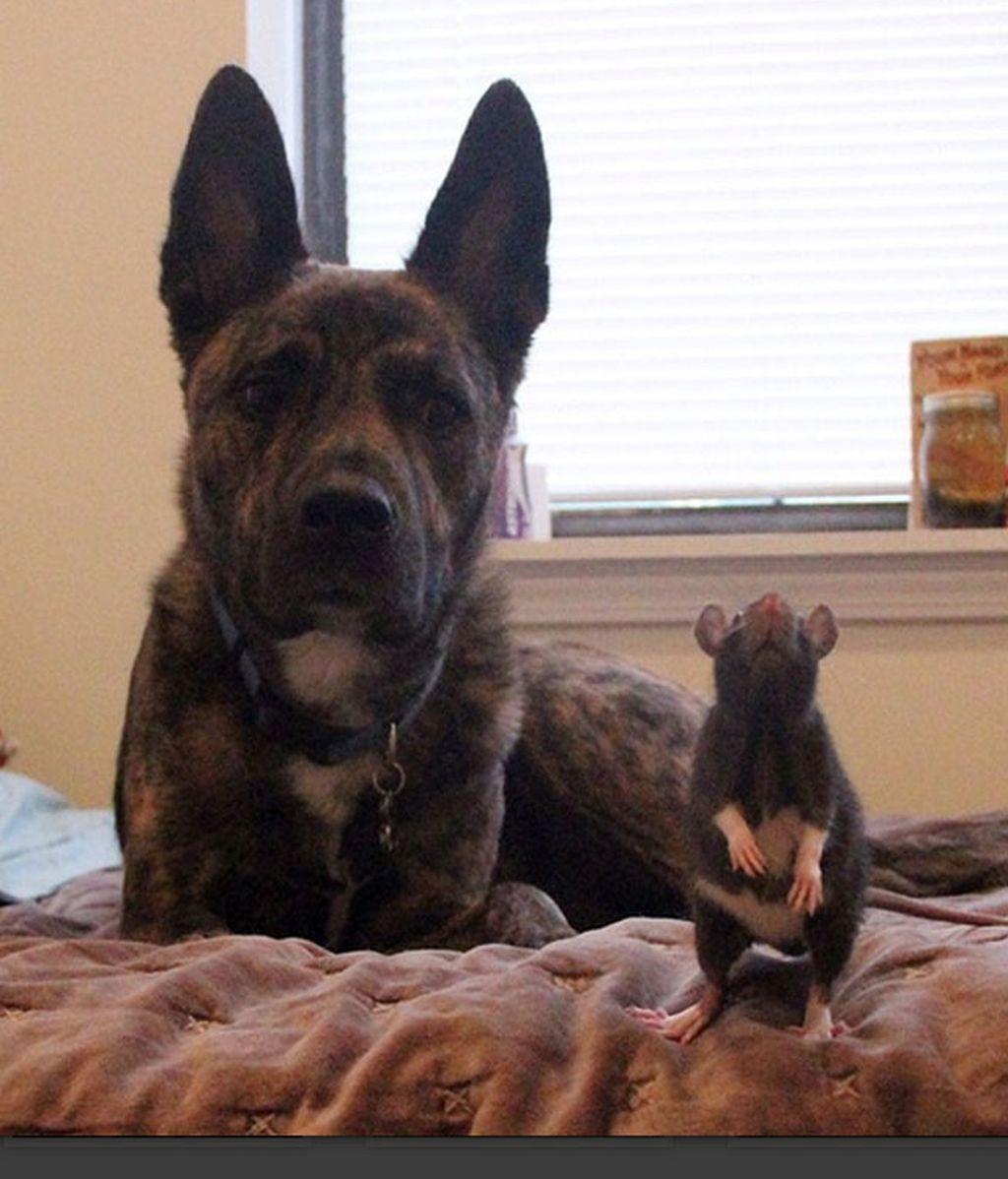 Una rata y un perro, un ejemplo de convivencia