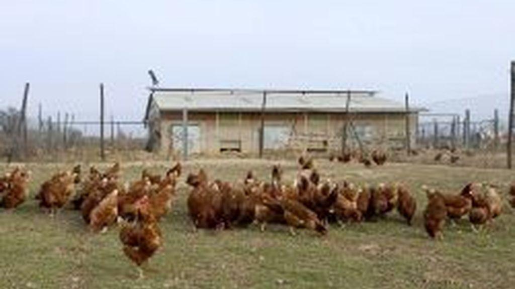 Imagen de una granja de gallinas ponedoras. Foto: archivo