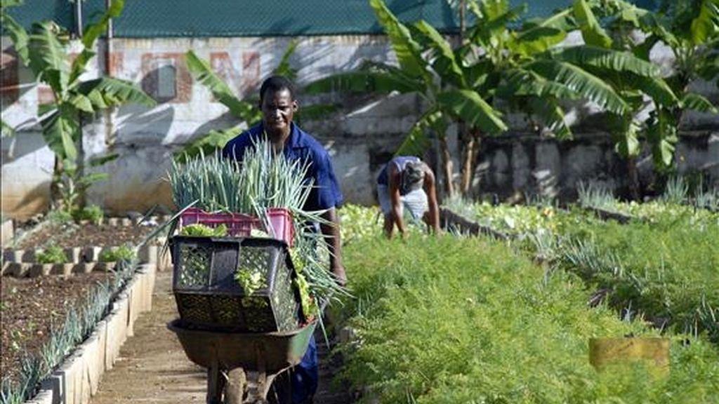 Según datos oficiales, los jóvenes han acaparado la mayor parte de más del millón de hectáreas repartidas desde 2008, cuando el Gobierno cubano aprobó una ley que promueve la entrega de tierras estatales ociosas para su explotación en usufructo. EFE/Archivo