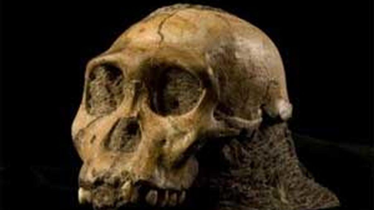 En la imagen, el cráneo de la nueva especie bautizada Australopithecus sediba. Foto: EFE.