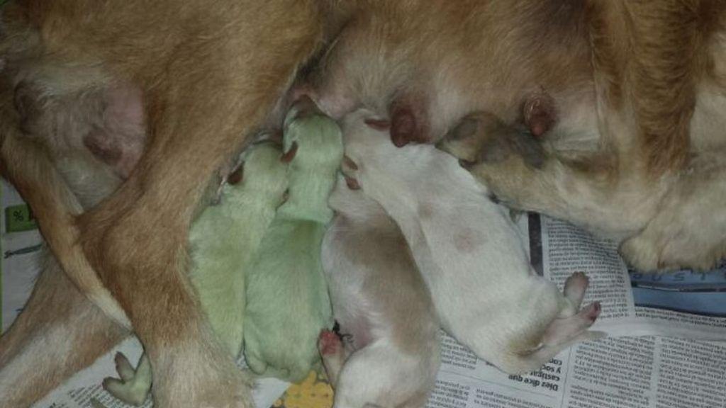 Nacen dos perros de color verde en Laguna del Duero