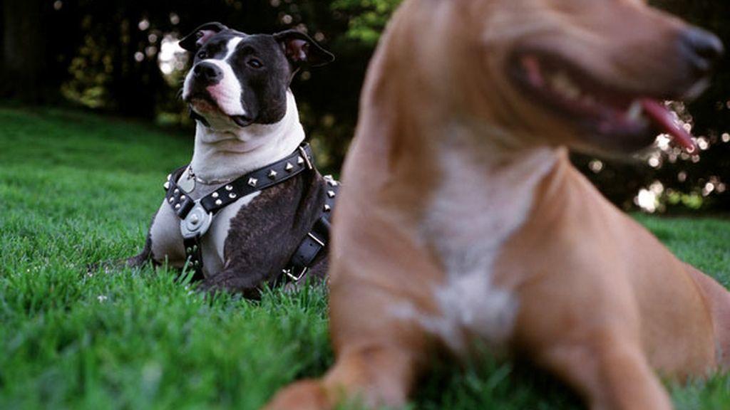 Dos perros de la raza pitbull