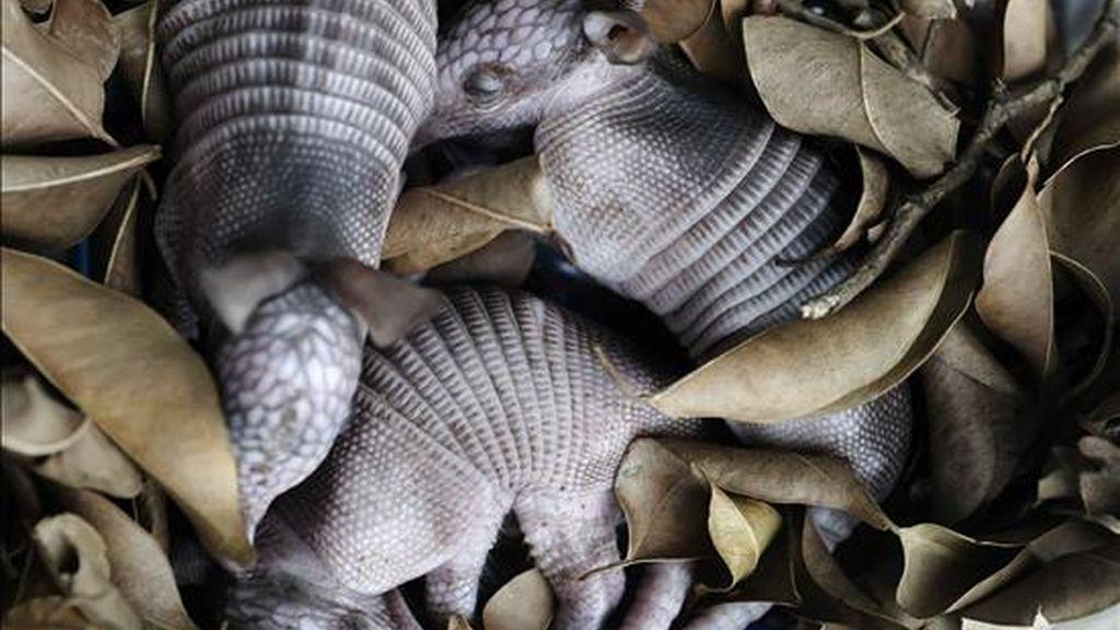 Crías de Armadillo Común (Dasypus novemcinctus) de cuatro días de nacidos son cuidados, en Managua (Nicaragua). EFE