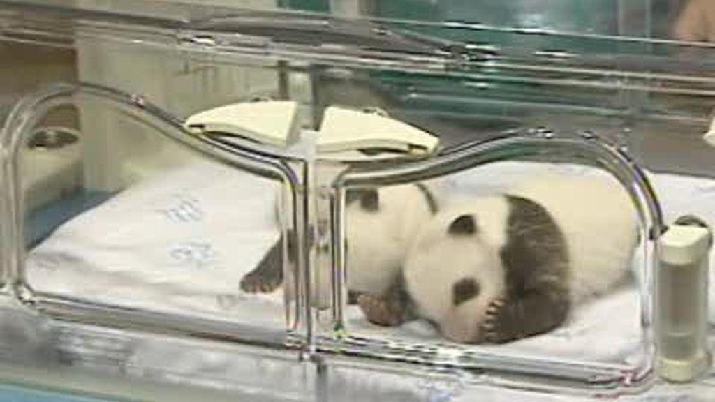 Los osos panda del zoo de Madrid ya pesan más de un kilo