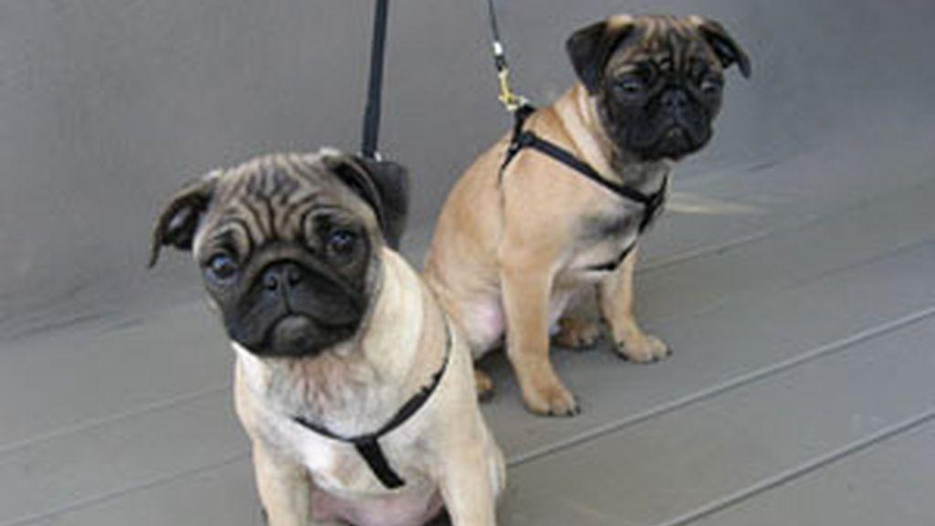 Dos perros carlinos. Foto: Gtres