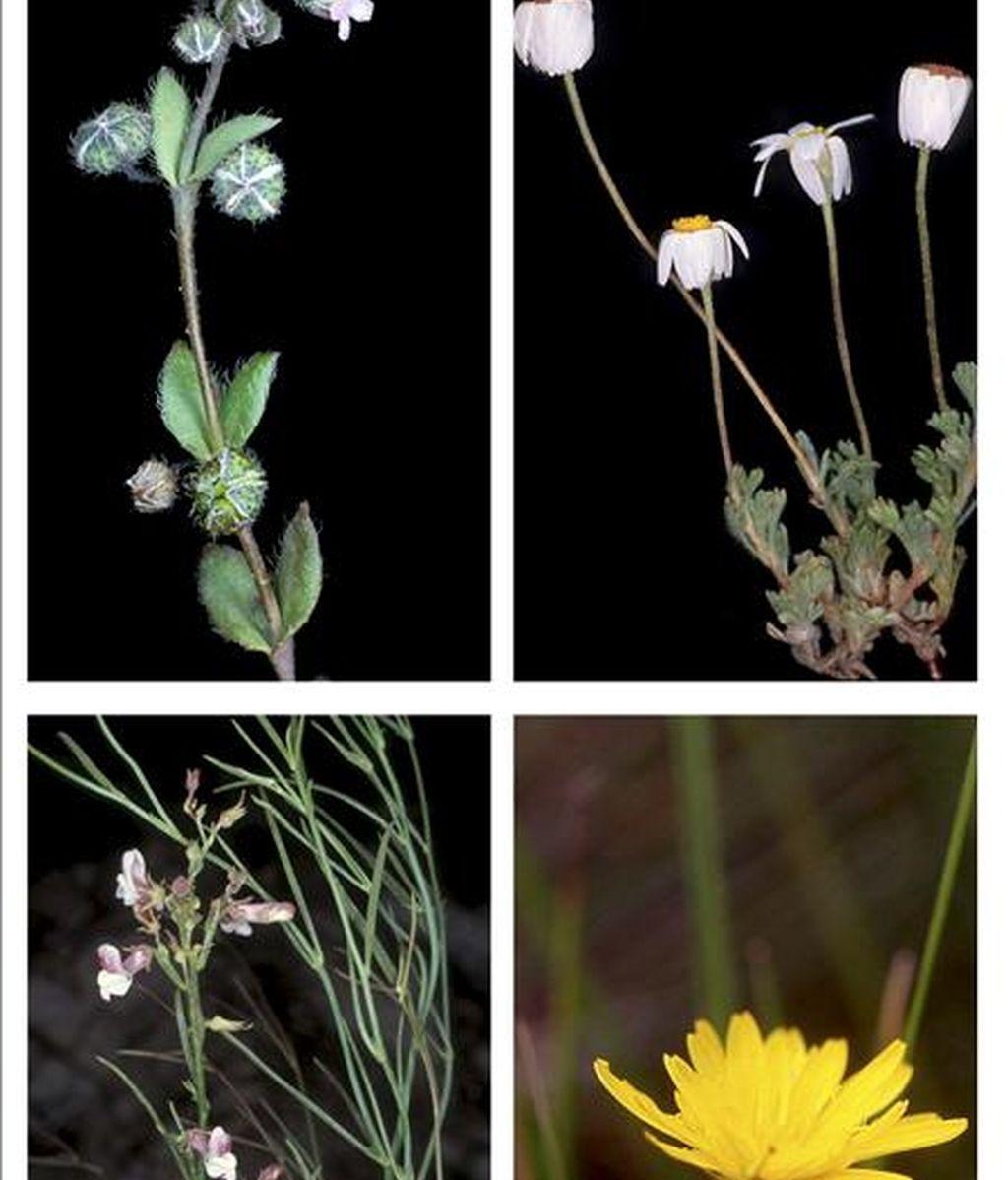 En las imágenes, facilitadas por el Consejo Superior de Investigaciones Científicas, Gyrocaryum oppositifolium, Castrilanthemum, Gyrocaryum oppositifolium y Avellara fistulosa (izda-dcha). EFE