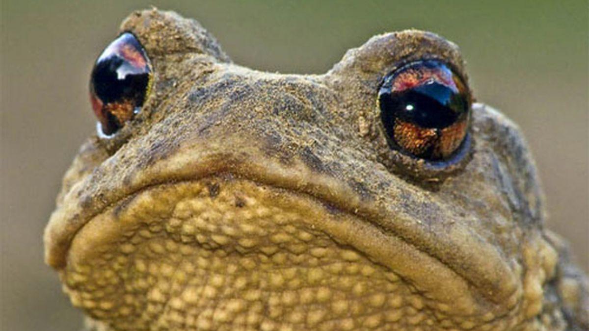 Sapo común o 'Bufo bufo'. Foto: florayfauna.net.