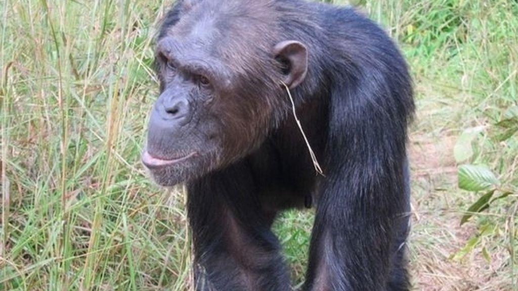 Julie, la chimpancé que ha creado la moda de ponerse una brizna de hierba en la oreja