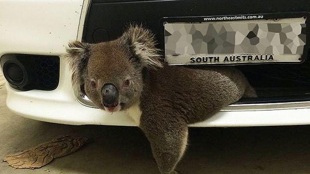 Un koala sobrevive al impacto de un coche a 100 kilómetros por hora