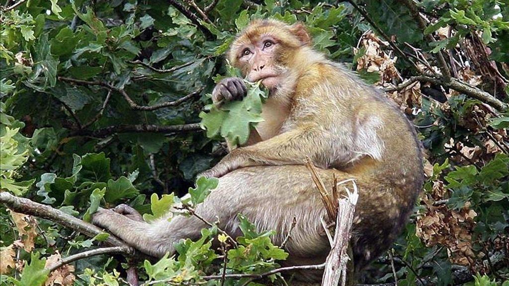 """Imagen del """"macaco de berbería"""", más conocido en España como """"mono de Gibraltar"""", en """"el Valle de los Simios"""" de Poitiers (Francia), en un parque temático donde se han reintroducido una treintena de grupos de primates, entre los que hay macacos de berbería que se alimentan de los brotes de roble que crecen de forma natural. EFE"""