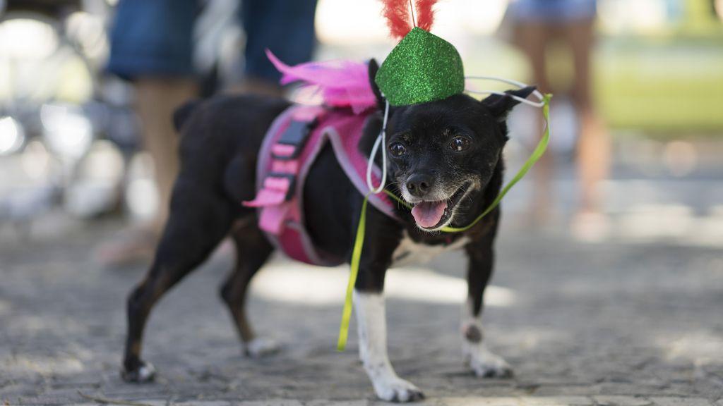 Las mascotas brasileñas se divierten durante los preparativos del Carnaval