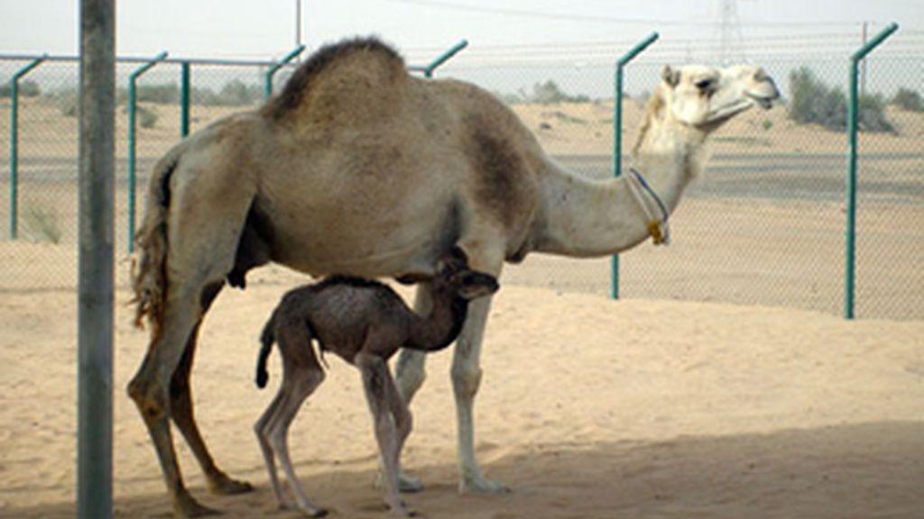 El camello pasa al menú. Foto: Archivo.