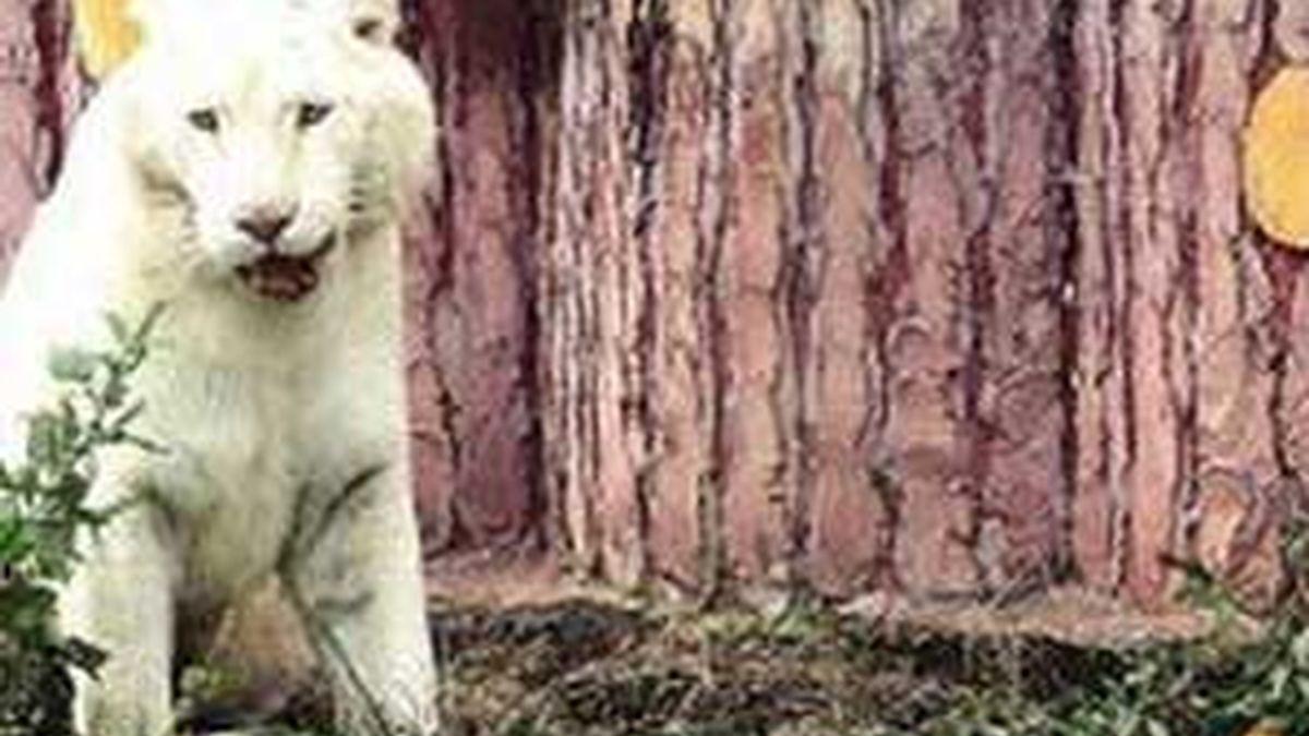 Los tigres se asustan de los pollos, su comida. Foto: annova.com