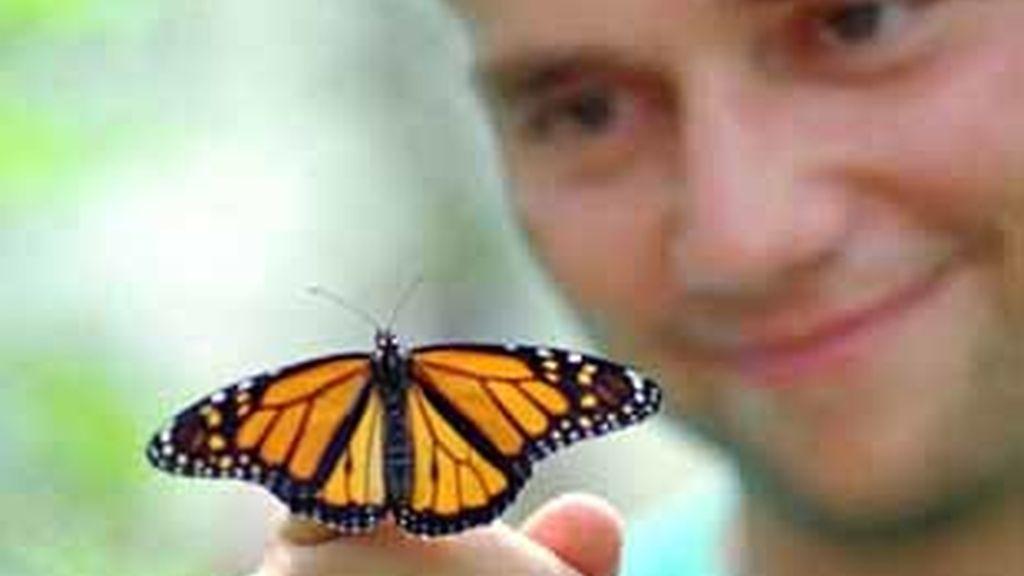 Muchas mariposas podrían estar en peligro de extinción. Foto: AP