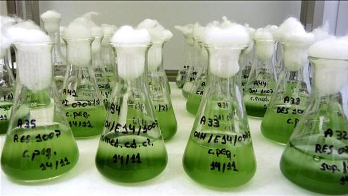 Las microalgas marinas se han convertido, por su capacidad para retirar CO2 de la atmósfera, en un arma para luchar contra el cambio climático, una aplicación que, entre otras, como la acuicultura o la farmacia, se investiga en el Instituto de Ciencias Marinas de Andalucía (ICMAN-CSIC). Este centro, ubicado en el campus de Puerto Real (Cádiz) acoge la mayor colección de España de microalgas, con más de 300 cepas, tanto autóctonas como foráneas. EFE/CSIC