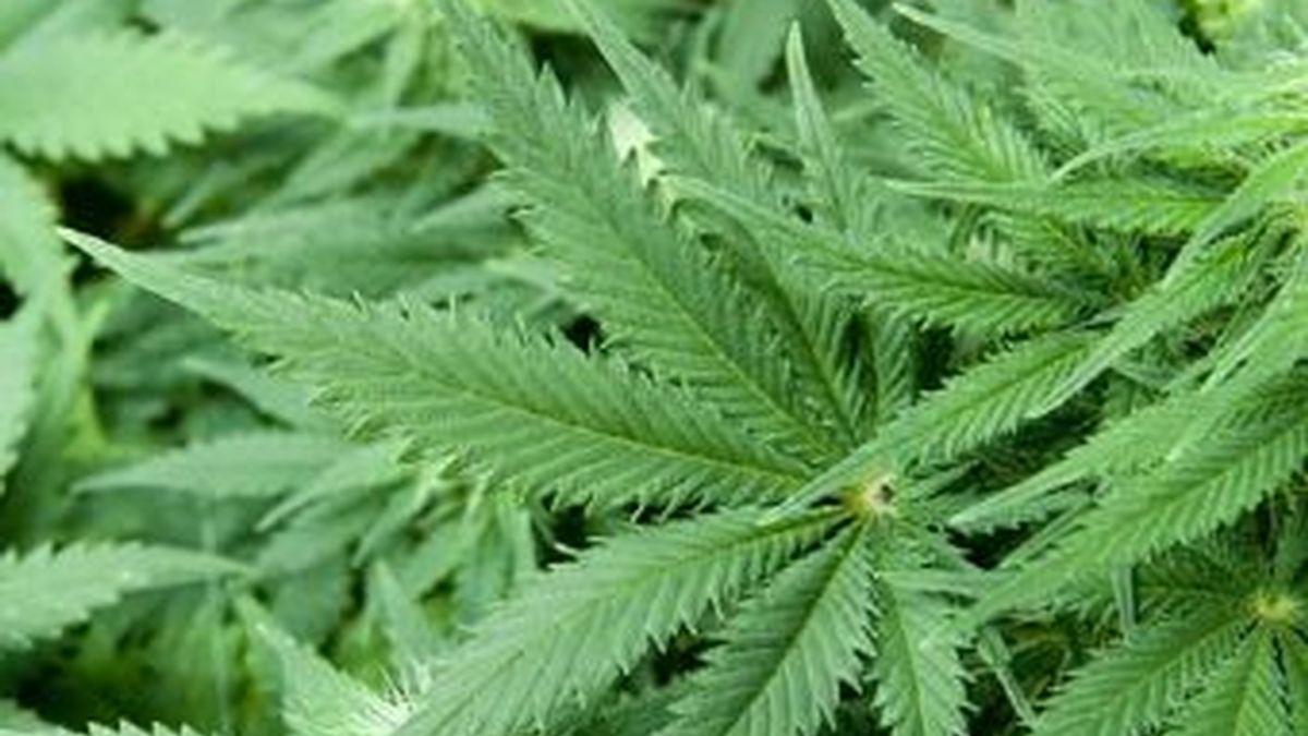 Plantas de Cannabis Sativa, a partir de la que se elabora la droga conocida como María o marihuana. Foto archivo