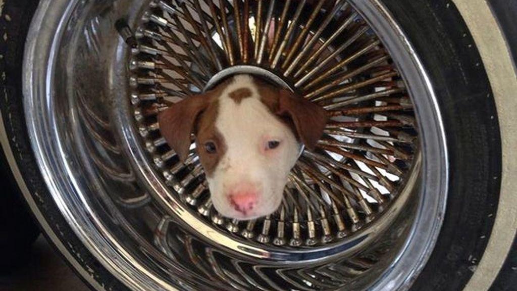 Un cachorro se queda encajado en un neumático