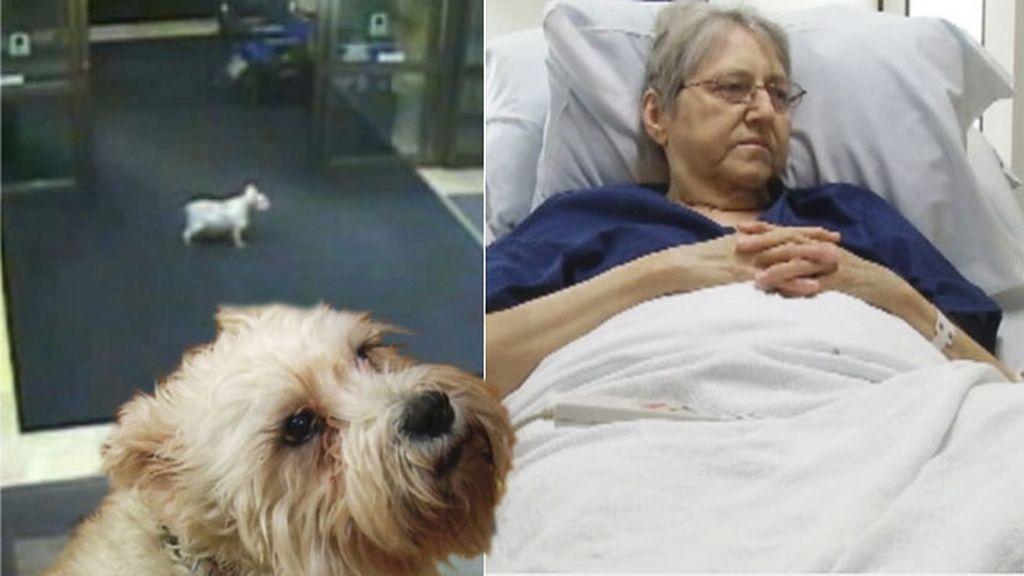 perro visita dueña, perro en hospital, perro fiel, mascotas, mejor amigo del hombre