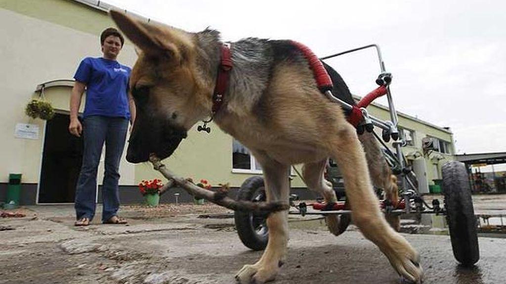 La perrita parapléjica que ya puede perseguir gatos