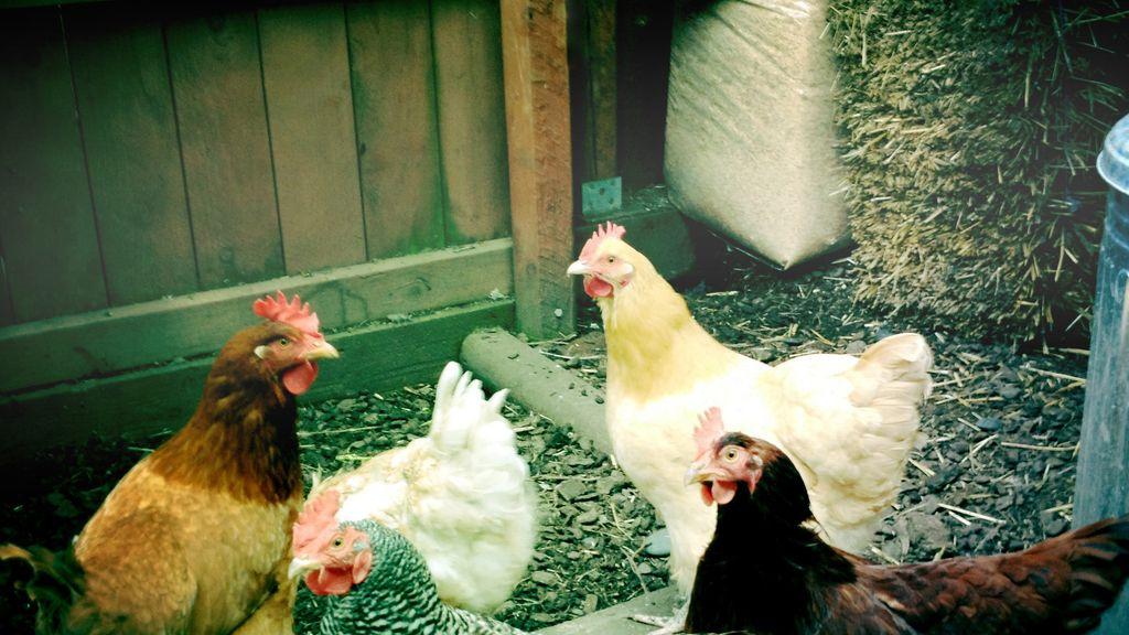 Las gallinas poseen una inteligencia propia