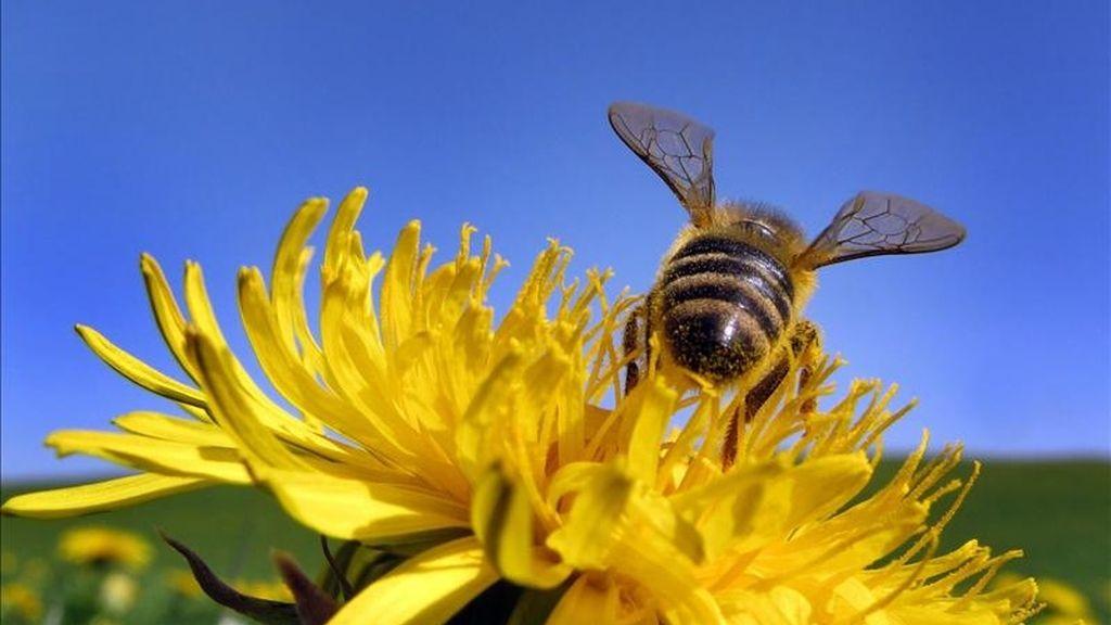 Una abeja recolecta polen de una flor. EFE/Archivo
