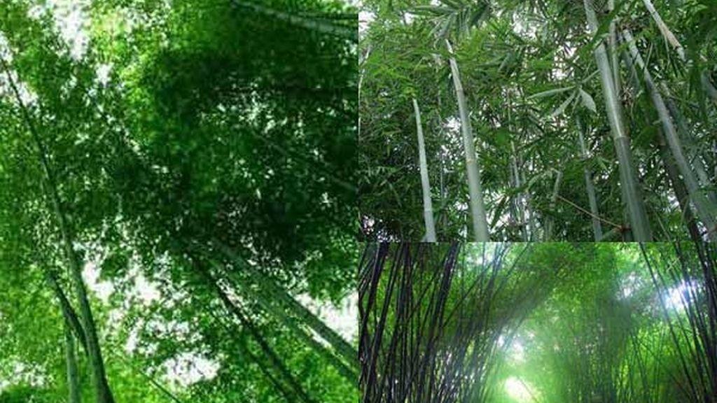 Bosque de Bambú de Shunan: El aroma del bambú