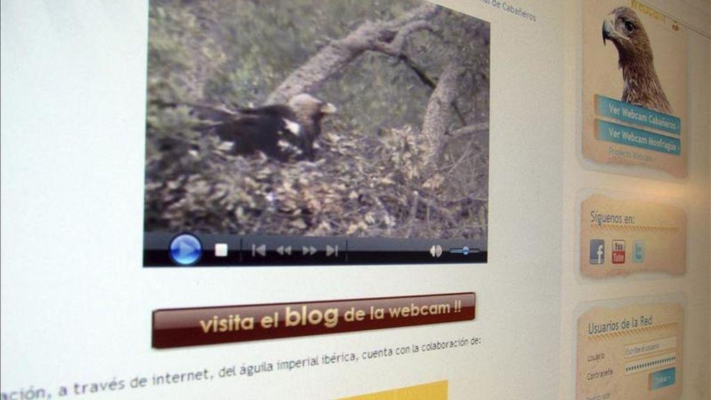 Página de internet a través de la que se puede observar el proceso de incubación del huevo, el nacimiento y la evolución de un pollo de águila imperial en el parque nacional de Cabañeros. EFE