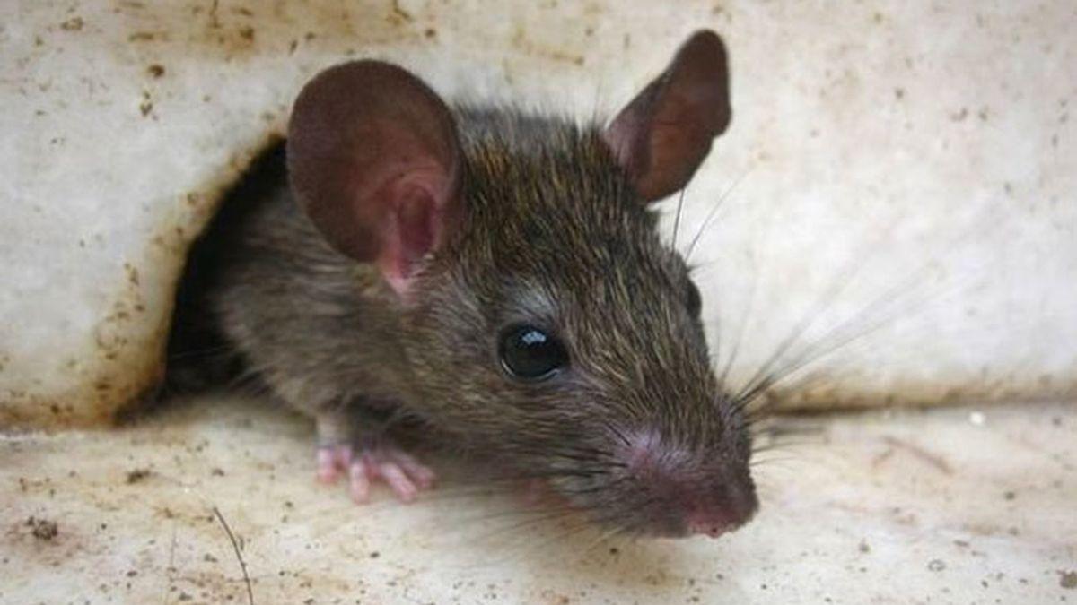 rata, ratón
