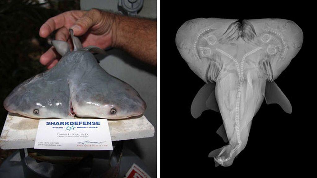 Tiburón toro con dos cabezas
